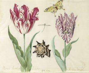 Tulipa in het Rijksmuseum Amsterdam